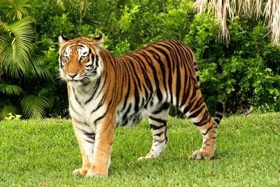 India basta turismo nelle riserve delle tigri genius for Disegni delle tigri
